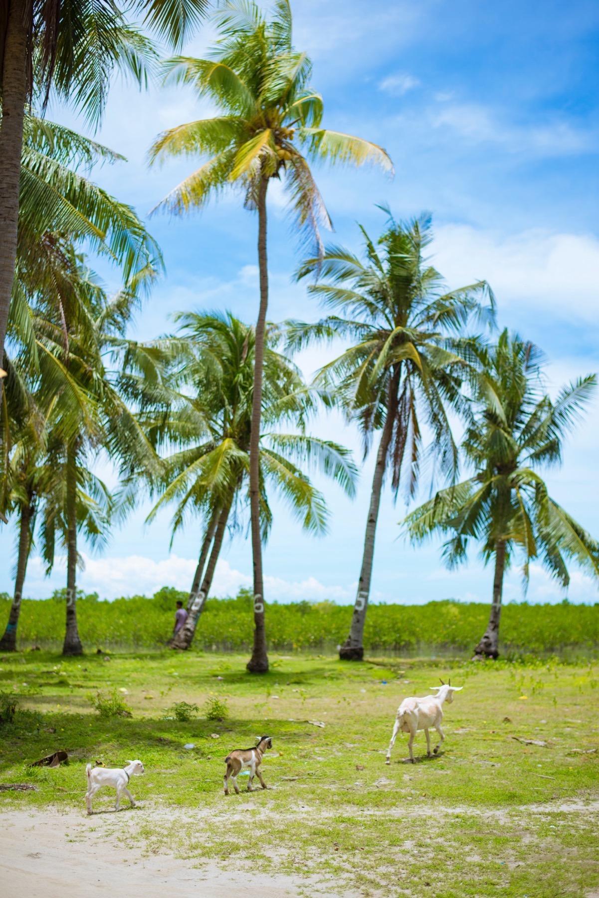 オランゴ島のやぎ